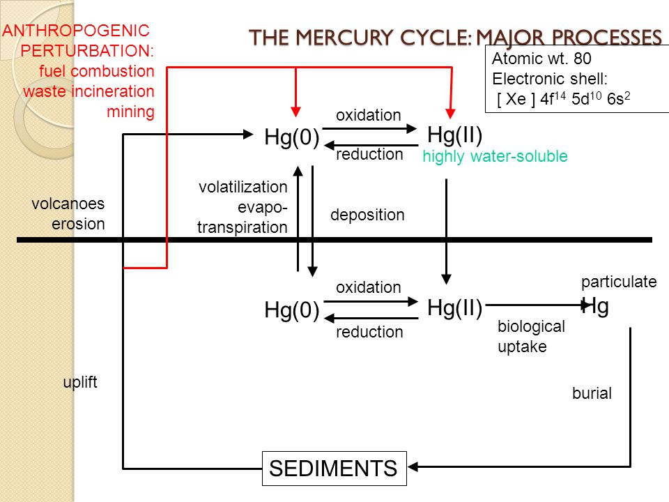 THE MERCURY CYCLE: MAJOR PROCESSES Hg(0) Hg(II) particulate Hg burial SEDIMENTS uplift volcanoes erosion oxidation reduction volatilization evapo- tra