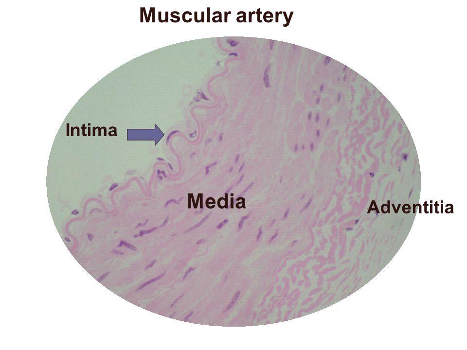 Muscular artery Media Intima Adventitia