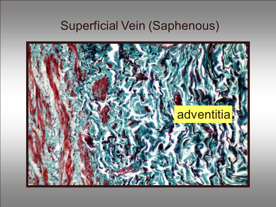 adventitia Superficial Vein (Saphenous)