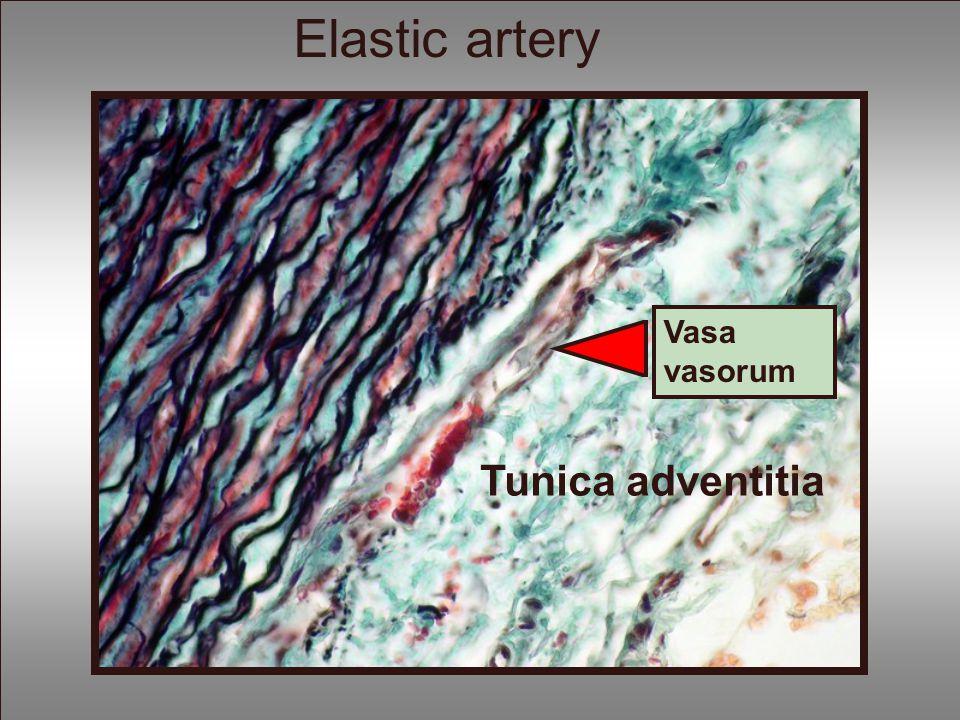 Tunica adventitia Vasa vasorum Elastic artery