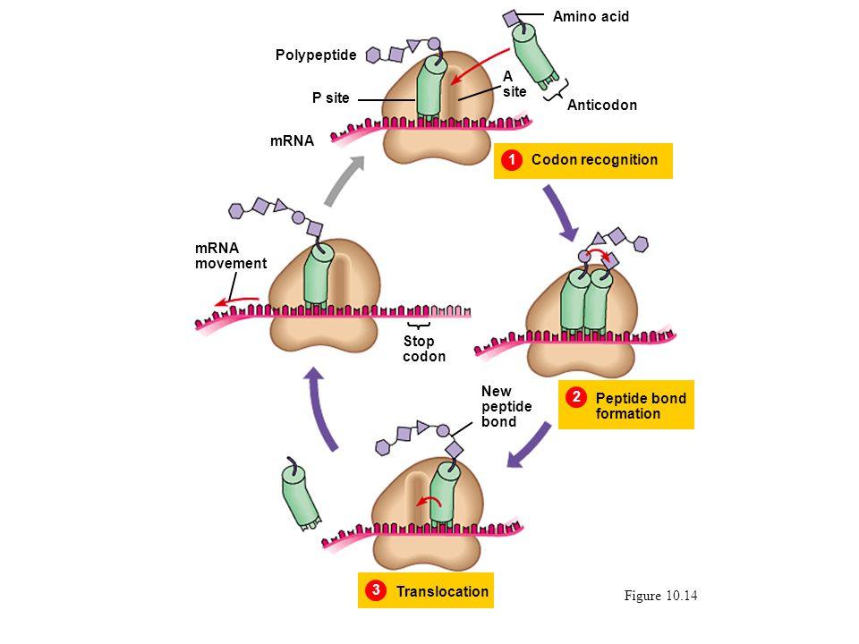 Figure 10.14 1Codon recognition Amino acid Anticodon A site P site Polypeptide 2 Peptide bond formation 3 Translocation New peptide bond mRNA movement mRNA Stop codon