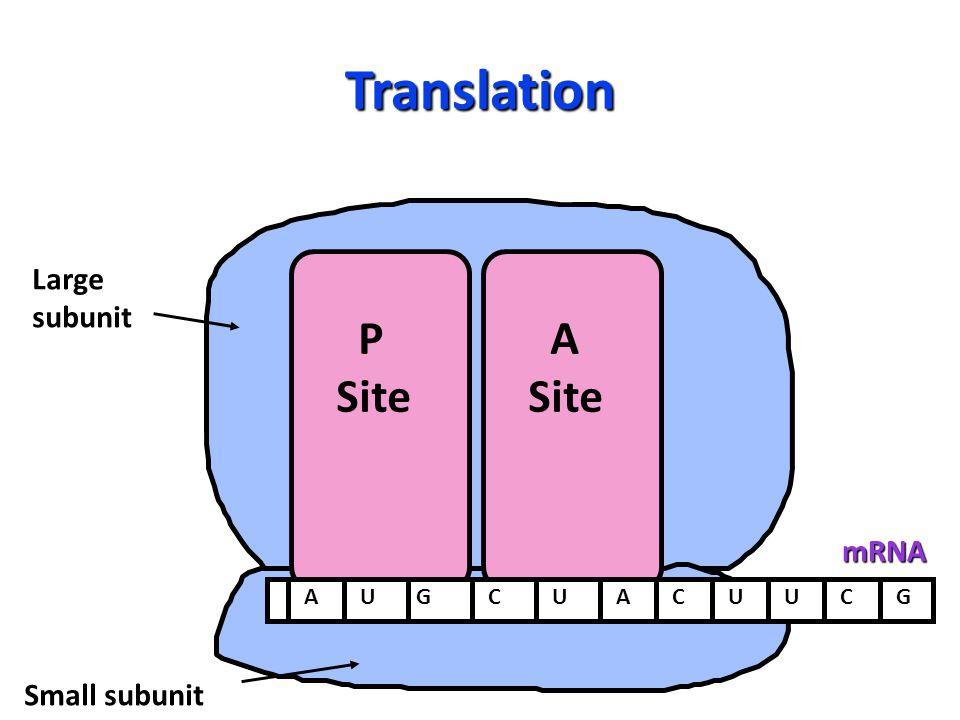 Translation P Site A Site Large subunit Small subunitmRNA AUGCUACUUCG
