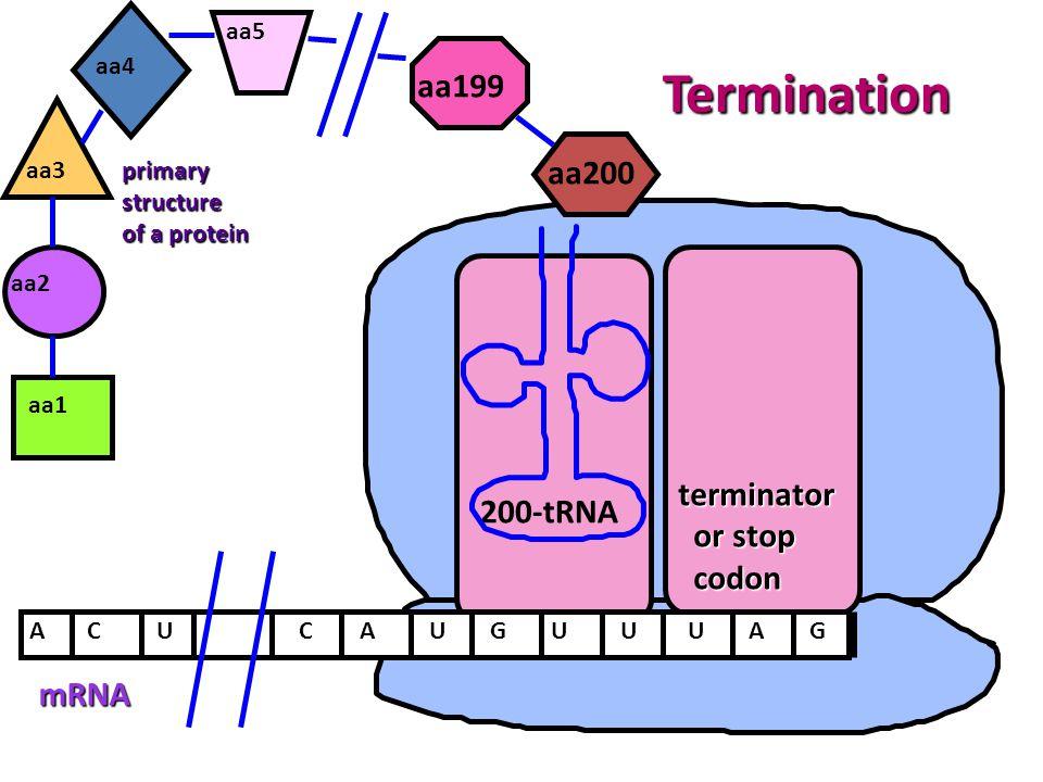 mRNA ACAUGU aa1 aa2 U primarystructure of a protein aa3 200-tRNA aa4 UAG aa5 CU aa200 aa199 terminator or stop or stop codon codon Termination