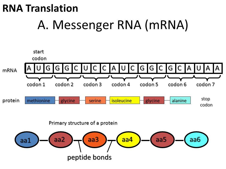 A. Messenger RNA (mRNA) methionineglycineserineisoleucineglycinealanine stop stopcodon protein AUGGGCUCCAUCGGCGCAUAA mRNA start startcodon Primary str