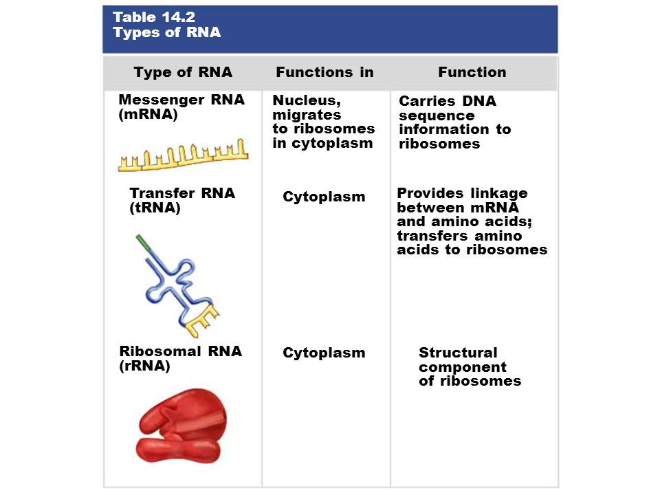 Table 14.2 Types of RNA Type of RNA Functions inFunction Messenger RNA (mRNA) Nucleus, migrates to ribosomes in cytoplasm Carries DNA sequence information to ribosomes Transfer RNA (tRNA) Cytoplasm Provides linkage between mRNA and amino acids; transfers amino acids to ribosomes Ribosomal RNA (rRNA) Cytoplasm Structural component of ribosomes