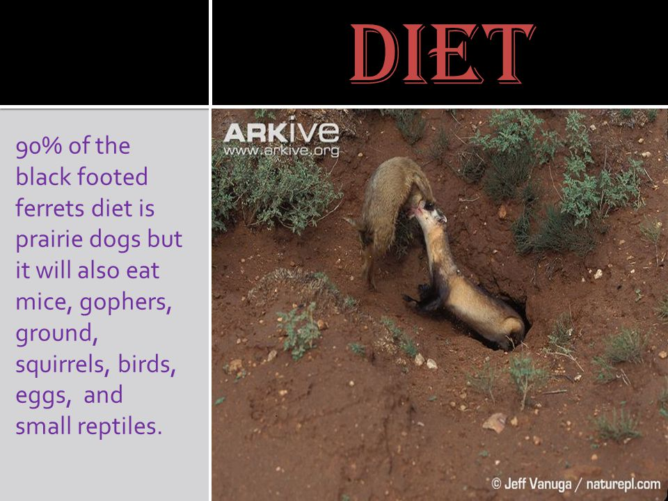 diet 90% of the black footed ferrets diet is prairie dogs but it will also eat mice, gophers, ground, squirrels, birds, eggs, and small reptiles.