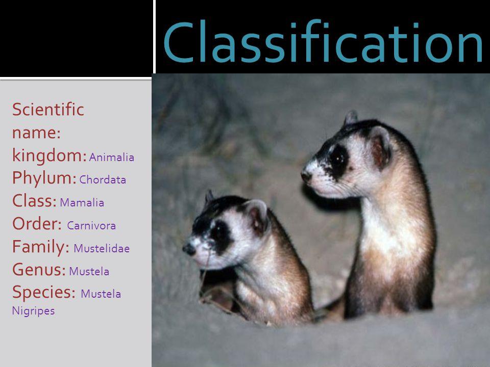 Classification Scientific name: kingdom: Animalia Phylum: Chordata Class: Mamalia Order: Carnivora Family: Mustelidae Genus: Mustela Species: Mustela