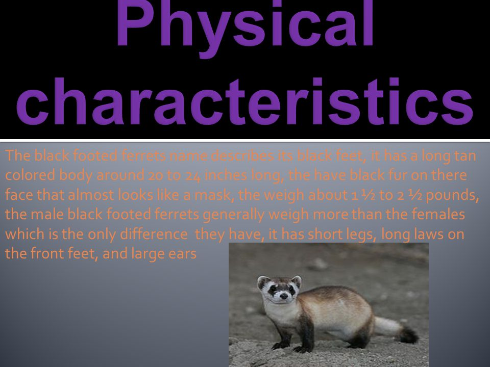 The black footed ferrets name describes its black feet, it has a long tan colored body around 20 to 24 inches long, the have black fur on there face t