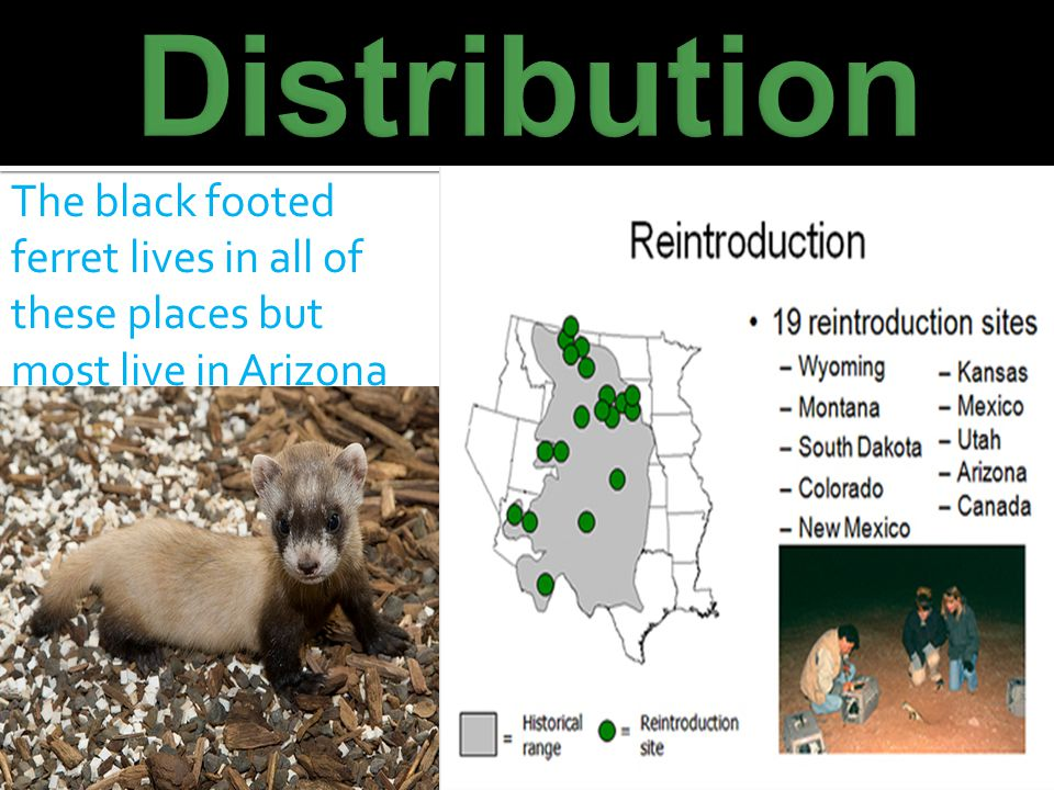 The black footed ferret lives in all of these places but most live in Arizona