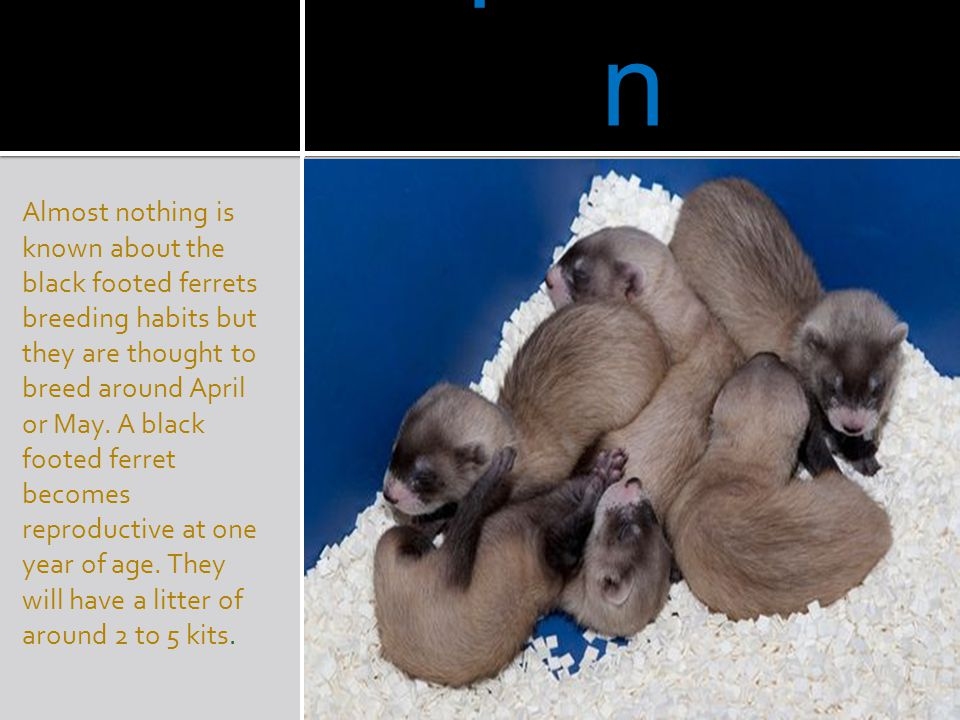 Reproductio n Almost nothing is known about the black footed ferrets breeding habits but they are thought to breed around April or May. A black footed