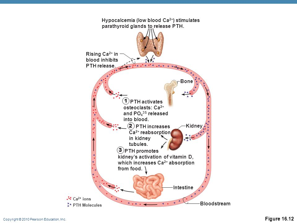 Copyright © 2010 Pearson Education, Inc. Figure 16.12 Intestine Kidney Bloodstream Hypocalcemia (low blood Ca 2+ ) stimulates parathyroid glands to re