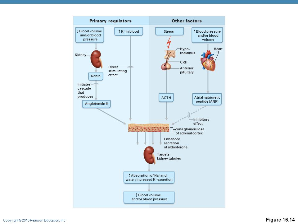 Copyright © 2010 Pearson Education, Inc. Figure 16.14 Primary regulatorsOther factors Blood volume and/or blood pressure Angiotensin II Blood pressure