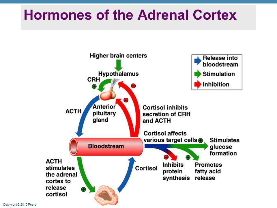 Copyright © 2010 Pearson Education, Inc. Hormones of the Adrenal Cortex
