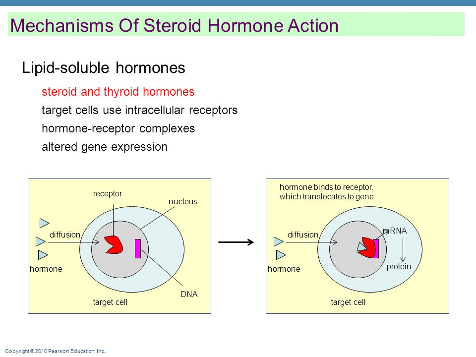 Copyright © 2010 Pearson Education, Inc. Lipid-soluble hormones Mechanisms Of Steroid Hormone Action steroid and thyroid hormones target cells use int