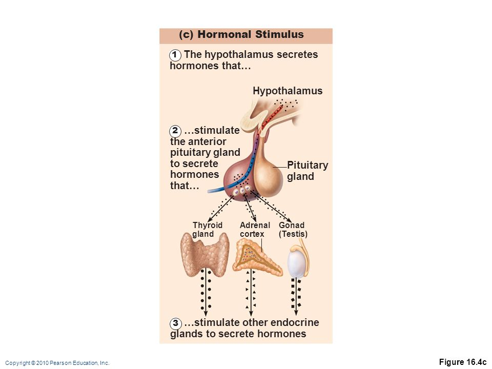 Copyright © 2010 Pearson Education, Inc. Figure 16.4c (c) Hormonal Stimulus Hypothalamus Thyroid gland Adrenal cortex Gonad (Testis) Pituitary gland 1