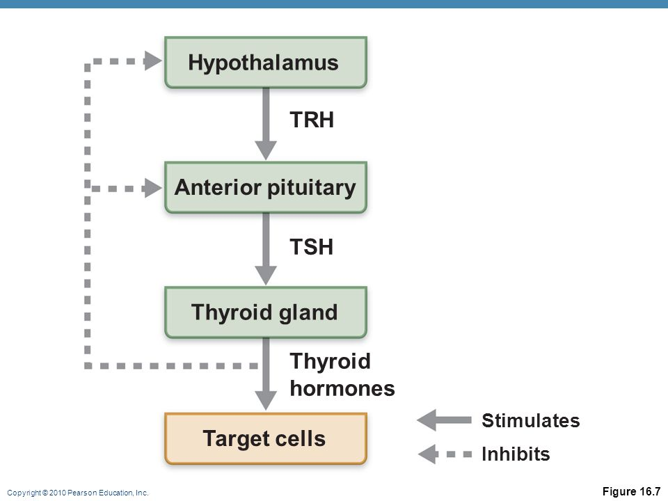 Copyright © 2010 Pearson Education, Inc. Figure 16.7 Hypothalamus Anterior pituitary Thyroid gland Thyroid hormones TSH TRH Target cells Stimulates In