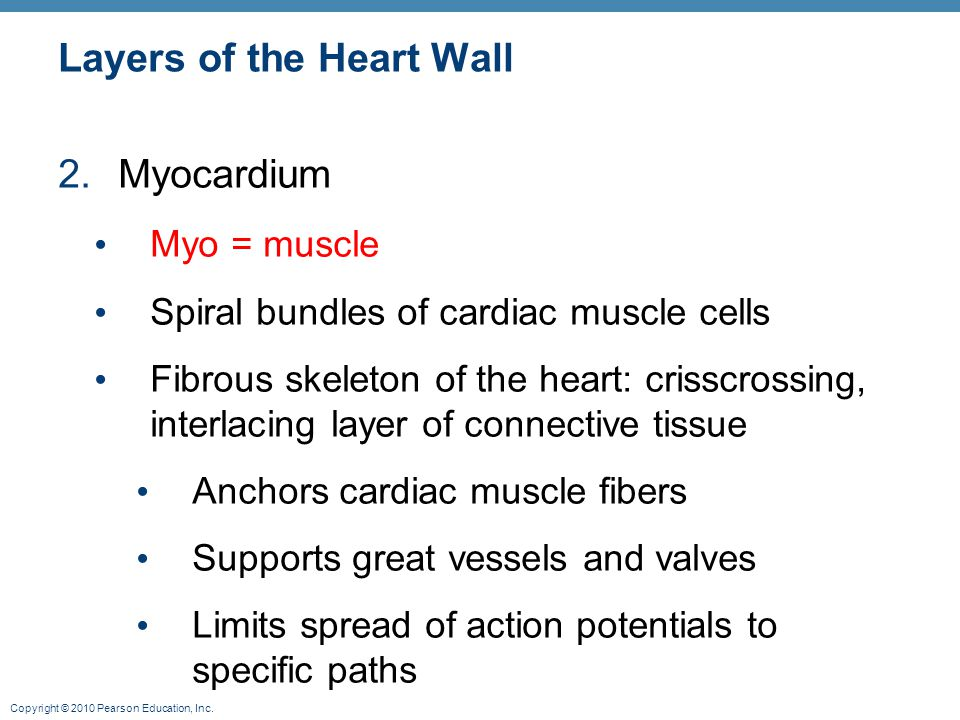 Copyright © 2010 Pearson Education, Inc. Layers of the Heart Wall 2.Myocardium Myo = muscle Spiral bundles of cardiac muscle cells Fibrous skeleton of