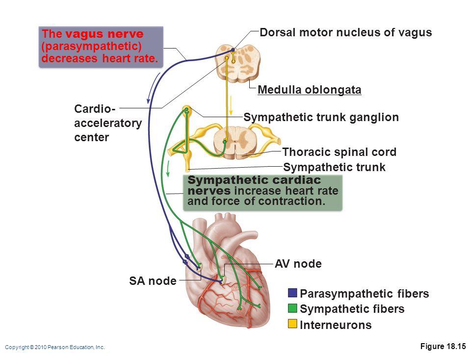 Copyright © 2010 Pearson Education, Inc. Figure 18.15 Thoracic spinal cord The vagus nerve (parasympathetic) decreases heart rate. Cardio- accelerator