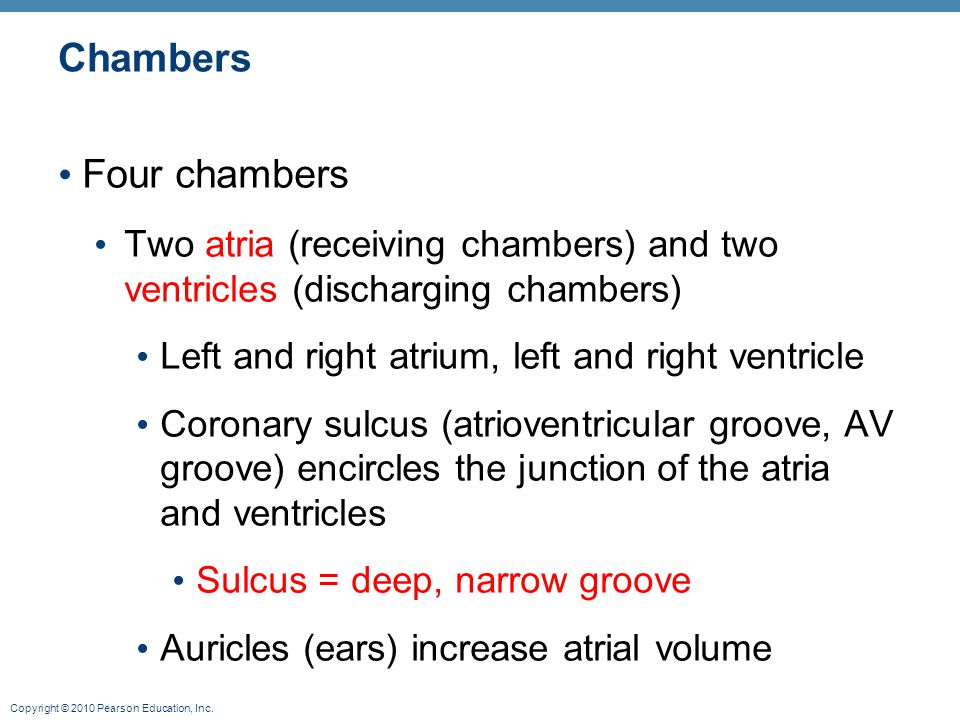 Copyright © 2010 Pearson Education, Inc. Chambers Four chambers Two atria (receiving chambers) and two ventricles (discharging chambers) Left and righ