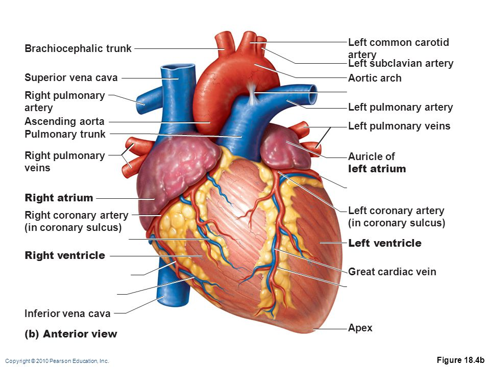 Copyright © 2010 Pearson Education, Inc. Figure 18.4b (b) Anterior view Brachiocephalic trunk Superior vena cava Right pulmonary artery Ascending aort