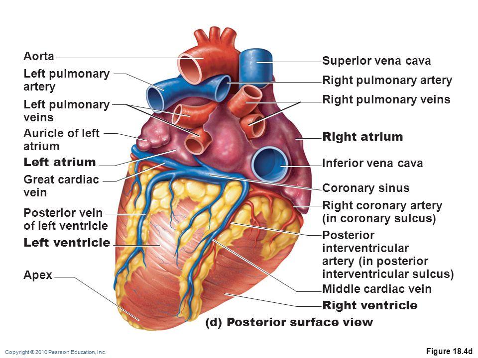 Copyright © 2010 Pearson Education, Inc. Figure 18.4d (d) Posterior surface view Aorta Left pulmonary artery Left pulmonary veins Auricle of left atri