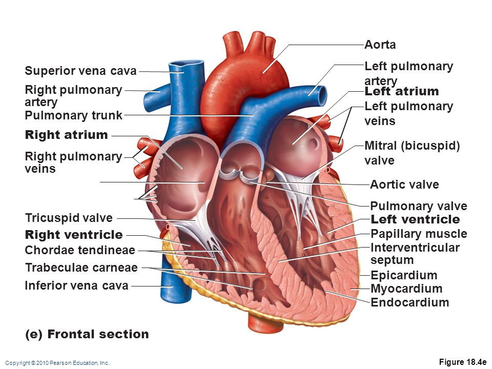 related keywords & suggestions for interventricular septum, Human Body