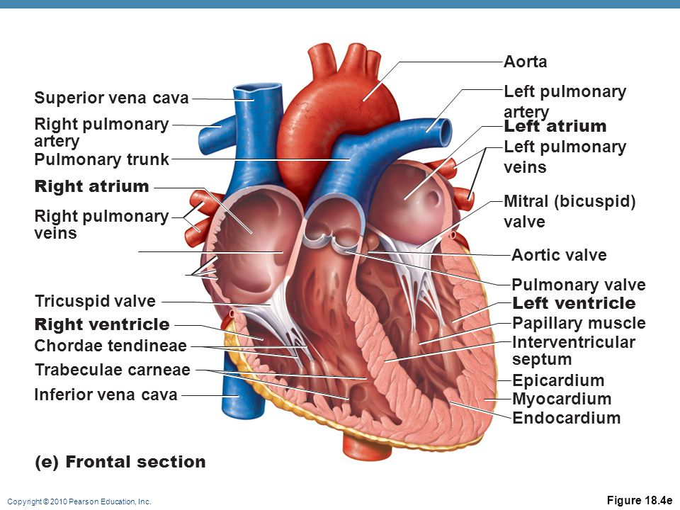Copyright © 2010 Pearson Education, Inc. Figure 18.4e Aorta Left pulmonary artery Left atrium Left pulmonary veins Mitral (bicuspid) valve Aortic valv
