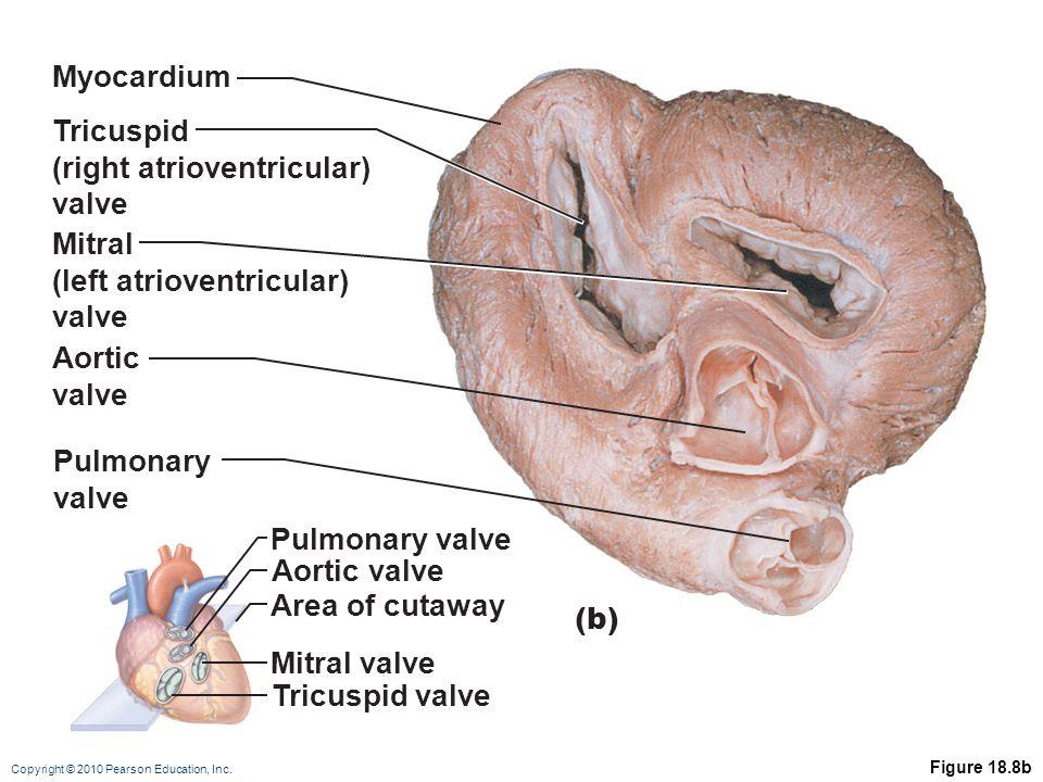 Copyright © 2010 Pearson Education, Inc. Figure 18.8b Pulmonary valve Aortic valve Area of cutaway Mitral valve Tricuspid valve Myocardium Tricuspid (
