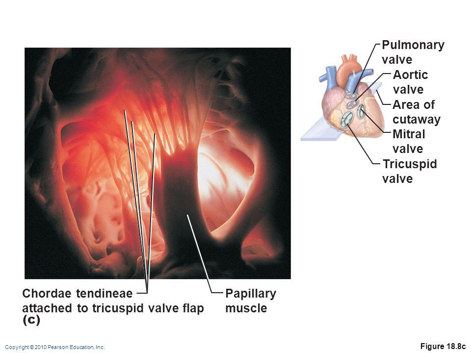 Copyright © 2010 Pearson Education, Inc. Figure 18.8c Pulmonary valve Aortic valve Area of cutaway Mitral valve Tricuspid valve Chordae tendineae atta