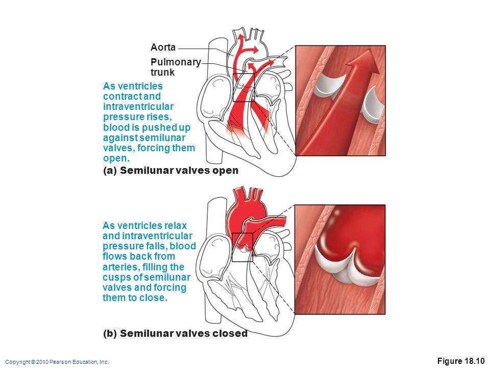 Copyright © 2010 Pearson Education, Inc. Figure 18.10 As ventricles contract and intraventricular pressure rises, blood is pushed up against semilunar