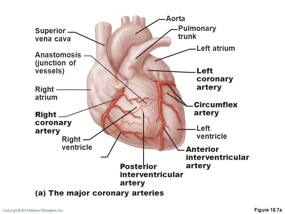 Copyright © 2010 Pearson Education, Inc. Figure 18.7a Right ventricle Right coronary artery Right atrium Posterior interventricular artery Anterior in