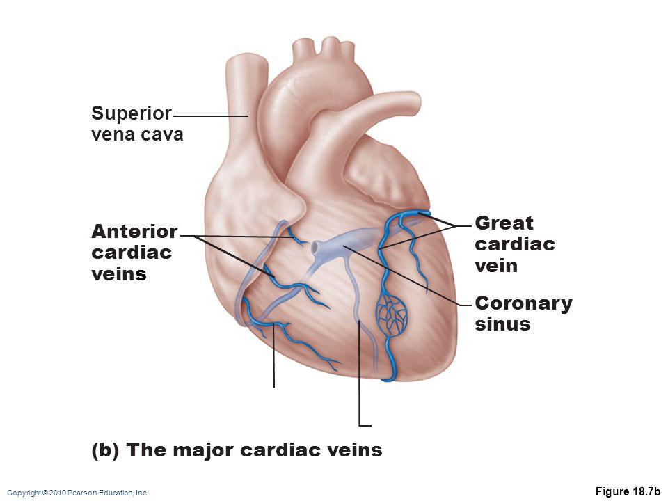 Copyright © 2010 Pearson Education, Inc. Figure 18.7b Superior vena cava Anterior cardiac veins Great cardiac vein Coronary sinus (b) The major cardia