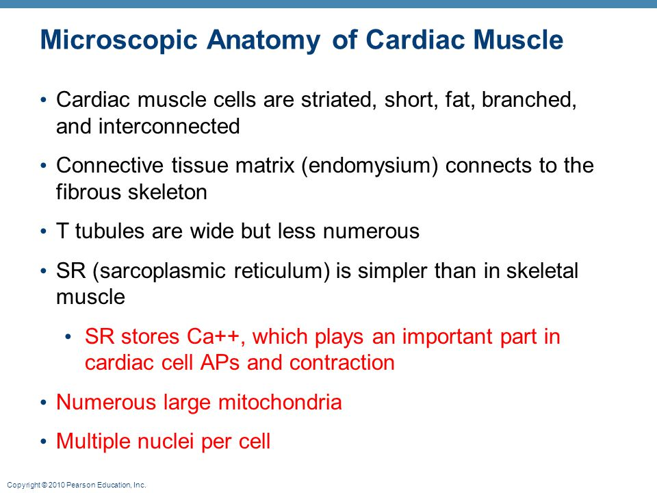 Copyright © 2010 Pearson Education, Inc. Microscopic Anatomy of Cardiac Muscle Cardiac muscle cells are striated, short, fat, branched, and interconne