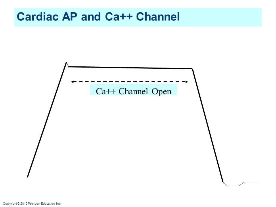 Copyright © 2010 Pearson Education, Inc. Cardiac AP and Ca++ Channel Ca++ Channel Open
