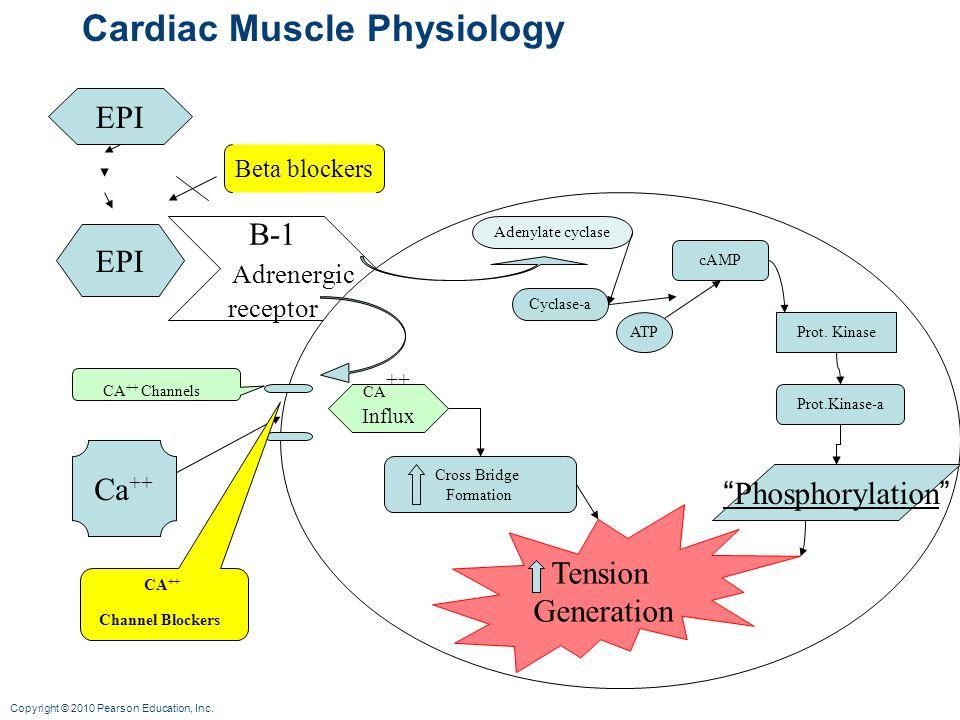 Copyright © 2010 Pearson Education, Inc. Cardiac Muscle Physiology EPI B-1 Adrenergic receptor Beta blockers Ca ++ CA ++ Channels CA ++ Influx Adenyla