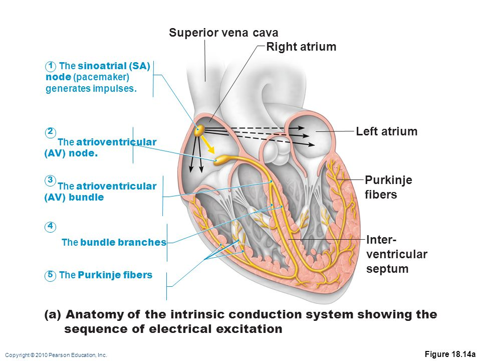 Copyright © 2010 Pearson Education, Inc. Figure 18.14a (a) Anatomy of the intrinsic conduction system showing the sequence of electrical excitation Su