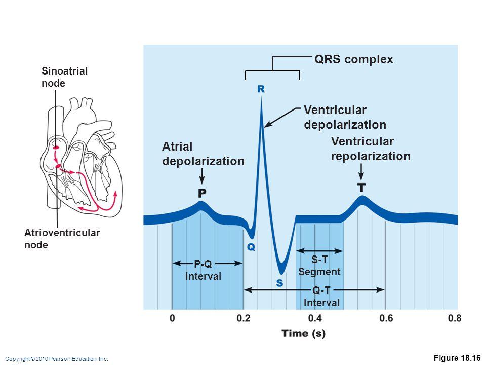 Copyright © 2010 Pearson Education, Inc. Figure 18.16 Sinoatrial node Atrioventricular node Atrial depolarization QRS complex Ventricular depolarizati