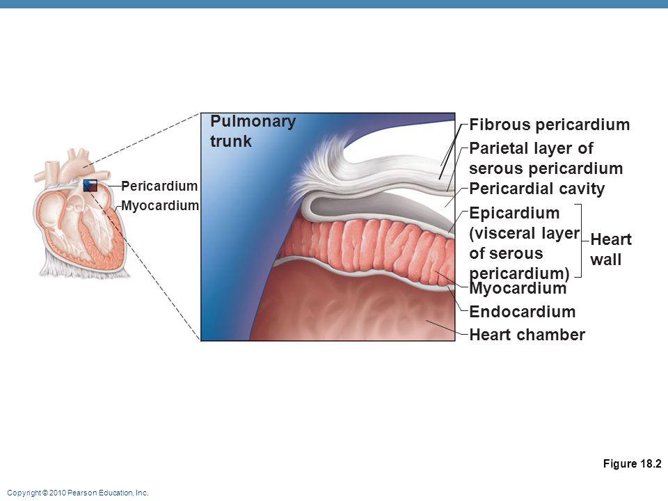 Copyright © 2010 Pearson Education, Inc. Autonomic Nervous System Regulation