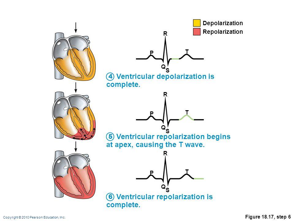 Copyright © 2010 Pearson Education, Inc. Figure 18.17, step 6 Ventricular depolarization is complete. Ventricular repolarization begins at apex, causi