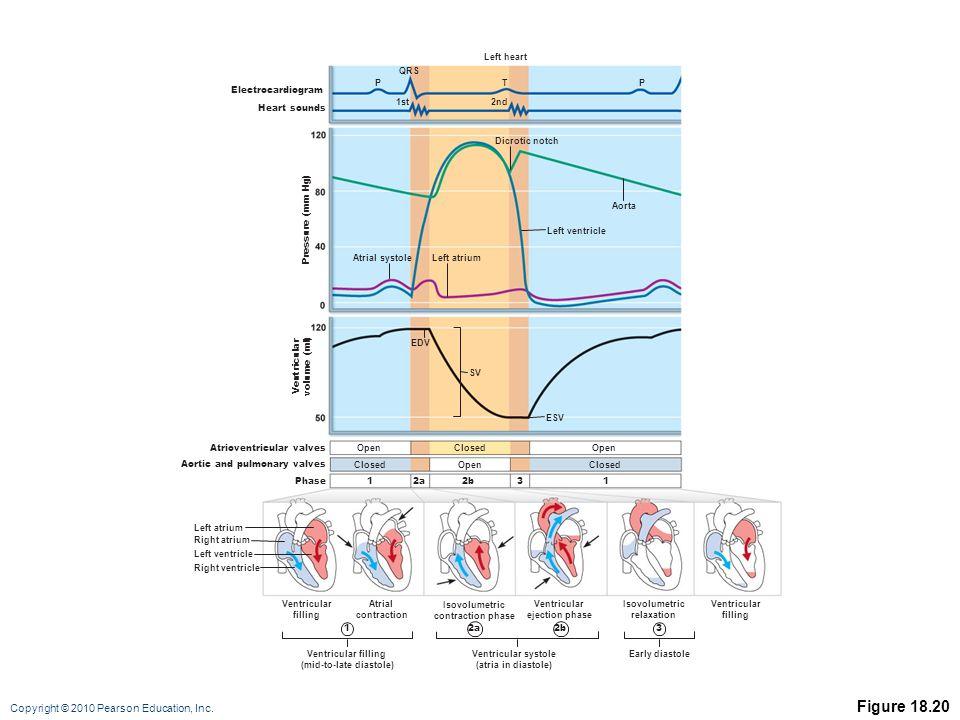 Copyright © 2010 Pearson Education, Inc. Figure 18.20 12a2b3 Atrioventricular valves Aortic and pulmonary valves Open Closed Open Phase ESV Left atriu
