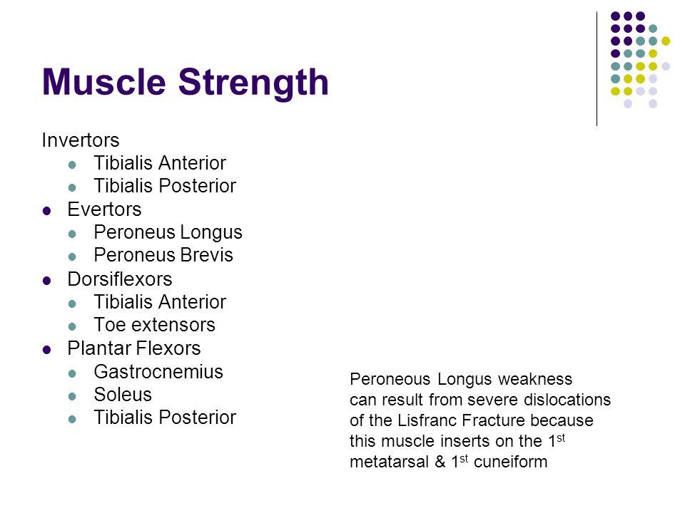 Muscle Strength Invertors Tibialis Anterior Tibialis Posterior Evertors Peroneus Longus Peroneus Brevis Dorsiflexors Tibialis Anterior Toe extensors P