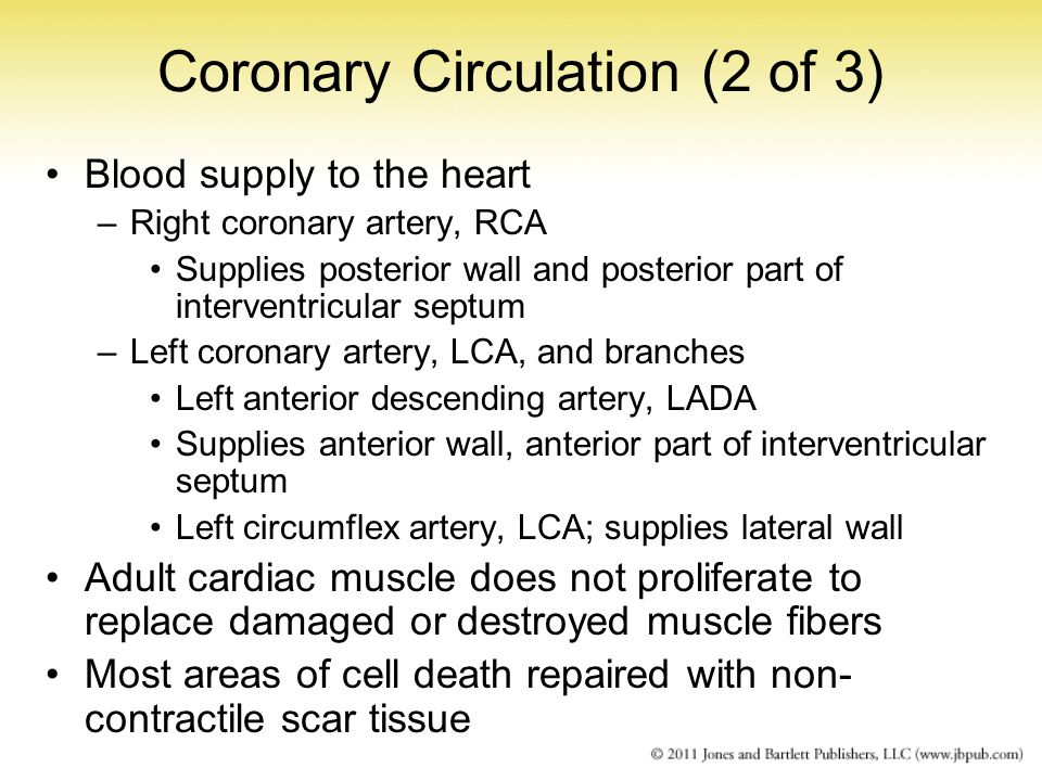 Coronary Circulation (2 of 3) Blood supply to the heart –Right coronary artery, RCA Supplies posterior wall and posterior part of interventricular sep