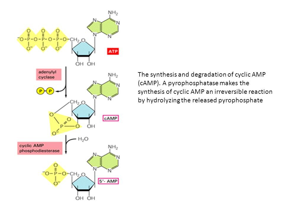 The synthesis and degradation of cyclic AMP (cAMP).