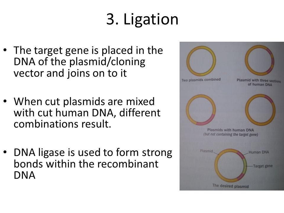 3. Ligation The target gene is placed in the DNA of the plasmid/cloning vector and joins on to it When cut plasmids are mixed with cut human DNA, diff