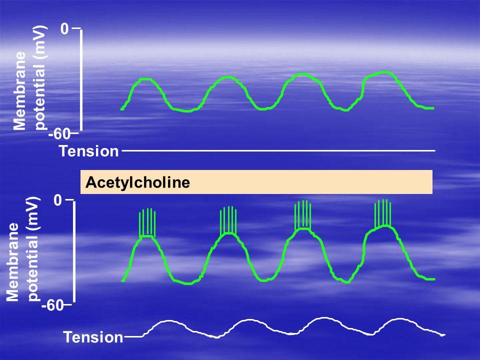 0 -60 Membrane potential (mV) Tension 0 -60 Tension Membrane potential (mV) Acetylcholine