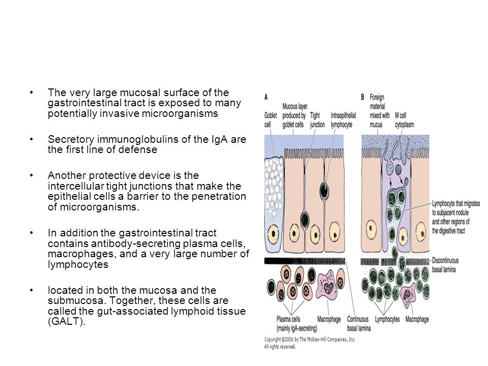 The very large mucosal surface of the gastrointestinal tract is exposed to many potentially invasive microorganisms Secretory immunoglobulins of the I