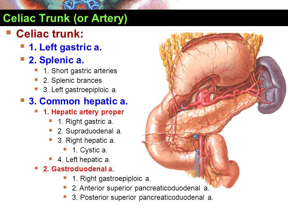 Celiac Trunk (or Artery)  Celiac trunk:  1. Left gastric a.  2. Splenic a.  1. Short gastric arteries  2. Splenic brances  3. Left gastroepiploi