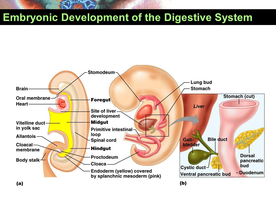 Development of Digestive System  Foregut  The abdominal esophagus  The stomach  Proximal half of the duodenum  The spleen  The liver, gallbladder  Pancreas  Midgut  Second half of the duodenum  Jejunum, ileum  Cecum, appendix  Ascending colon  Transverse colon (proximal 2/3)  Hindgut  Left portion of the tranverse colon  Descending colon  Sigmoid colon  The rectum Celiac trunk SMA IMA
