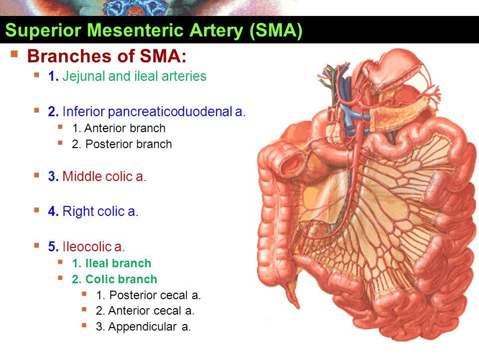 Superior Mesenteric Artery (SMA)  Branches of SMA:  1. Jejunal and ileal arteries  2. Inferior pancreaticoduodenal a.  1. Anterior branch  2. Pos