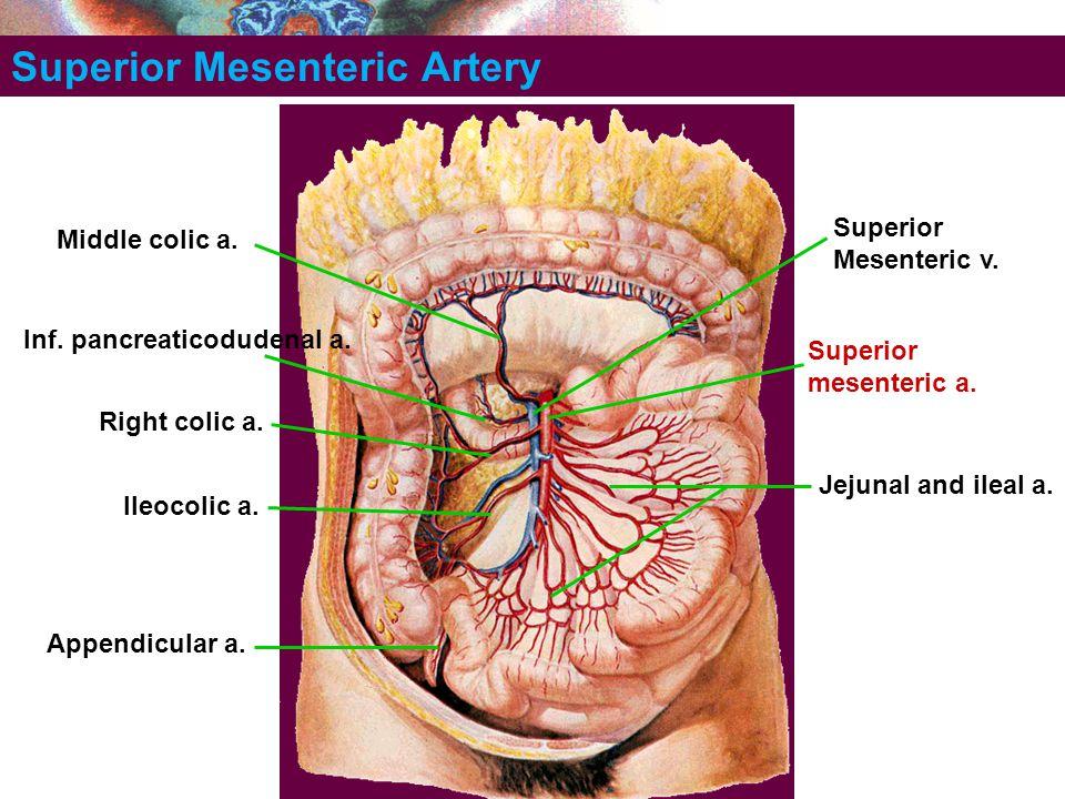 Superior Mesenteric Artery Superior mesenteric a. Inf. pancreaticodudenal a. Jejunal and ileal a. Ileocolic a. Appendicular a. Right colic a. Middle c